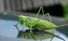 Ağustos böcekleri neden öter?