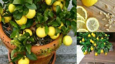 Evinizde Limon Yetiştirmek İşte Bu Kadar Kolay – Tek İhtiyacınız Olan 1 Çekirdek