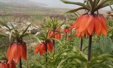 """""""Hüznün çiçeği"""" diyorlar! Ömürleri sadece 15 gün! Şırnak, Hakkari ve Van bölgesinde yetişiyor!"""