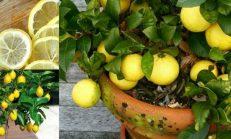 Lüzumunuz Olan Tek 1 Çekirdek, Konutunuzda Basitlikle Limon Yetiştirebilirsiniz