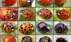 Normal Uğur Böcekleri Gibi Görünüyorlar Evinizde Bahçenizde Her Yerde Olabilirler