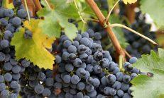 Kara üzüm çekirdeğinin faydaları